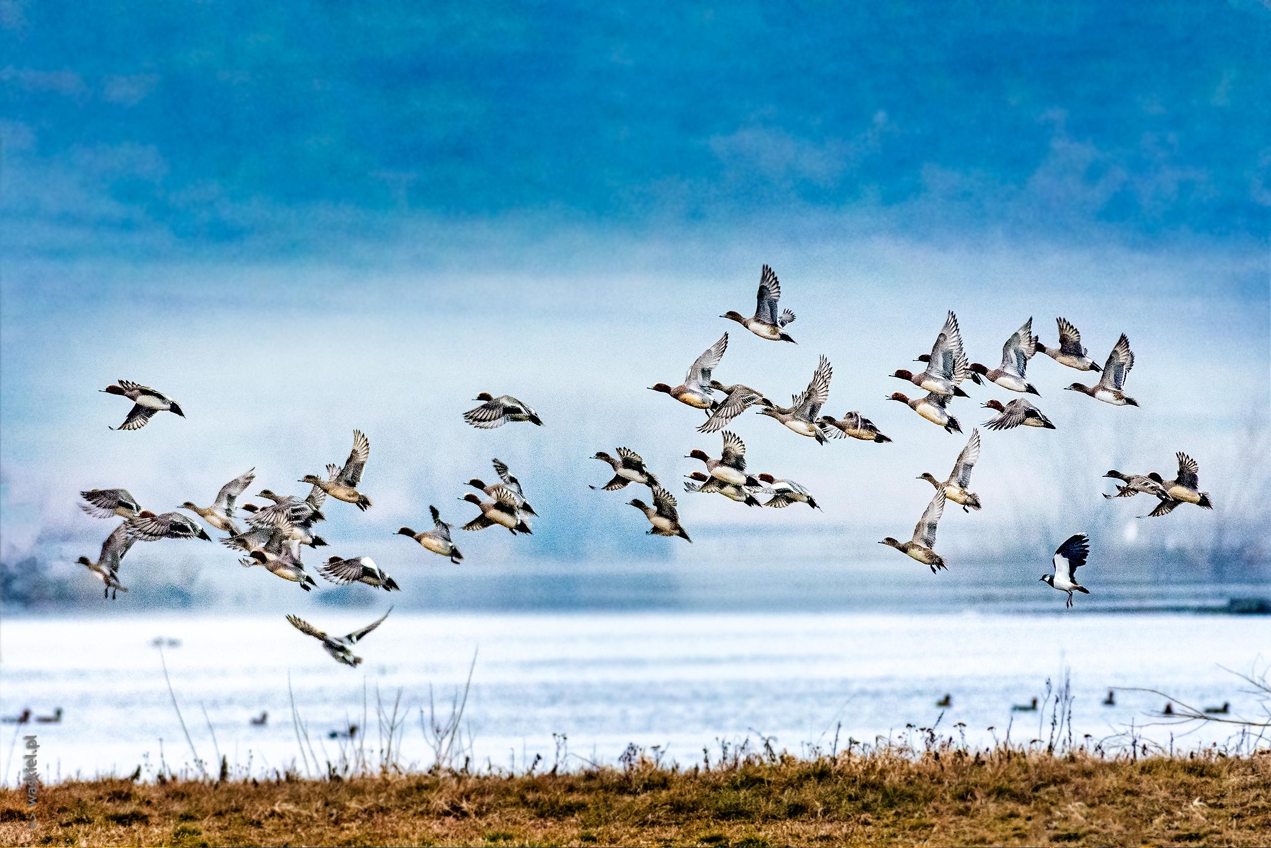 ptaki-w-dolinie-biebrzy